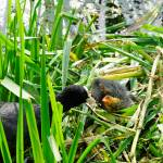 """Adult Coot Feeding a Young Chick (23643-RDA)"" by rodjohnson"