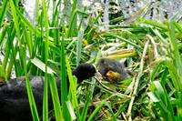 Adult Coot Feeding a Young Chick (23643-RDA)