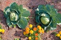 Cabbage and Marigold