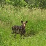 """Baby Moose"" by DebraCyr"