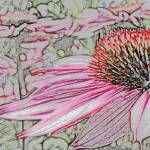 """Echinacea (colored pencil)"" by mikepdx"