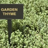 Garden Thyme (Thymus Vulgaris) Art Prints & Posters by Stacey Lynn Payne
