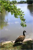 Goose by Pond