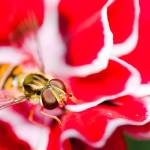 """Hover fly on carnation"" by tolkien"
