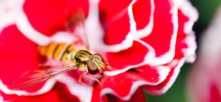 Hover fly on carnation