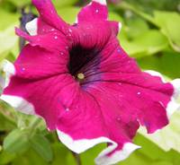 pink white and purple flower