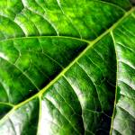 """Green Leaf Close Up"" by Alvimann"