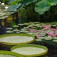 Water Platters/Lilies/Lotuses Art Prints & Posters by Byron Varvarigos