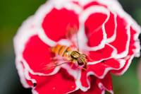 Hover fly on carnation-2 <!--0e069891efcd48679ee11