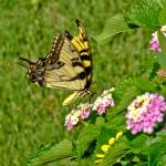 """Tiger Swallowtail on Lantana"" by awsheffield"