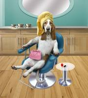 Basset Hound Beauty Manicured Dog