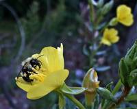 Bumble Bee On Evening Primrose