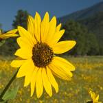 """""""Sunflowers"""" by FindleyPhoto"""