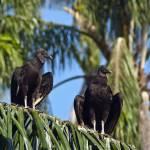 """Cathartidae urubus condors vultures"" by einsiedler"