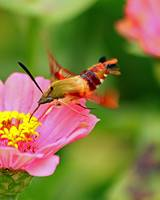 Hummingbird Clearwing (H. thysbe.)