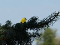American Gold Finch in Tree