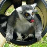 """Lemur Playing"" by SandiOReilly"