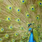 Eyes Of The Peacock