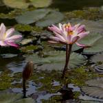 """Amazonian vitoria regia lacustrine rose Nymphaeace"" by einsiedler"