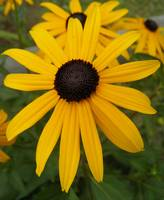blackeyed susan 1