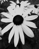 blackeyed susan 2