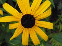 blackeyed susan 4
