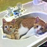 """Cats in the sink"" by jbjoani2"