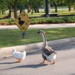 """Duck Crossing"" by prettypictures"