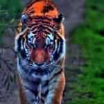 """""""Tiger Tiger"""" by elricksphoto"""