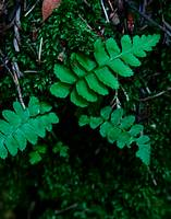 Muir Woods Fern