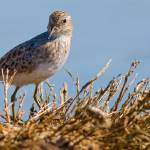 """Least Sandpiper"" by Laverman"