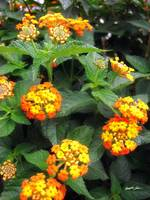 Beautiful Orange and Yellow Lantana 1