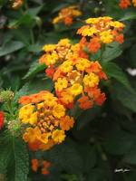 Beautiful Orange and Yellow Lantana 2