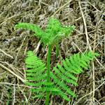 """Emerging Fronds of Bracken (17168-RDA)"" by rodjohnson"