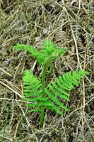 Emerging Fronds of Bracken (17168-RDA)
