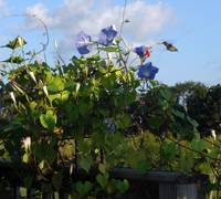 Hummingbird, Morning Glorys and Cyprus Vines