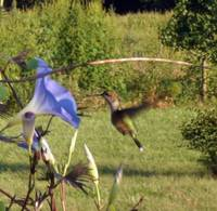 Female Hummingbird and Morning Glory