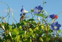 Male Hummingbird Morning Glorys and Cyprus Vines