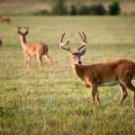 """Four Bucks - White Tailed Deer Wildlife Photograph"" by DAPhoto"