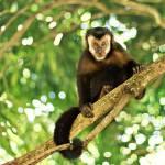 """capuchin monkey - Cebus apella"" by annatheodora"