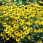 """Black-Eyed Susans"" by newmom02"