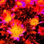 """Neon Daisies"" by KarlaRickerArt"