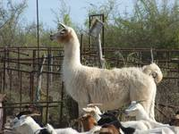 A llama guarding a herd of goats