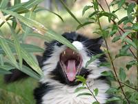 A cat yawning