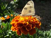 White butterfly on a french marigold