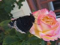 Mourning cloak butterfly on a peace rose