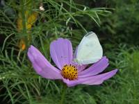 White butterfly on cosmo flower