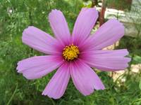 Large pink cosmo