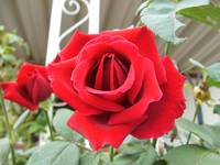 A bright red rose