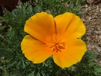 An orange California poppy